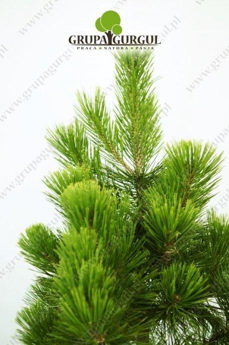 Sosna bośniacka 'Compact Gem' – Pinus leucodermis 'Compact Gem'