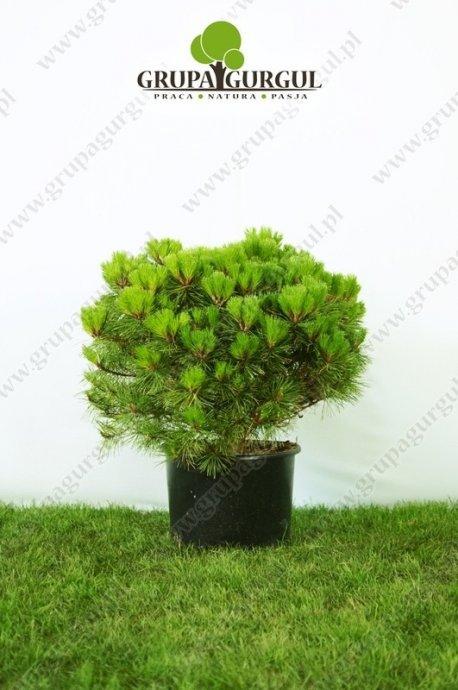 Sosna czarna BREPO 'Pierrick Brégeon' – Pinus nigra BREPO 'Pierrick Brégeon' PBR