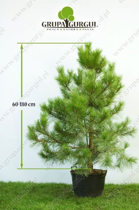 drzewo-15