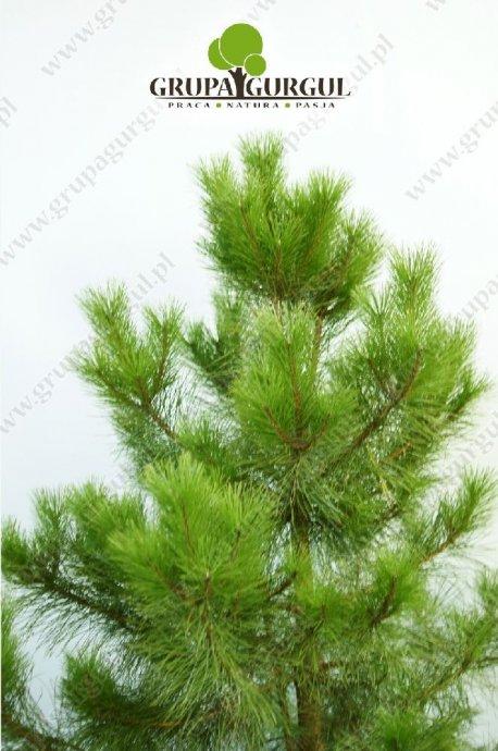 drzewo-25