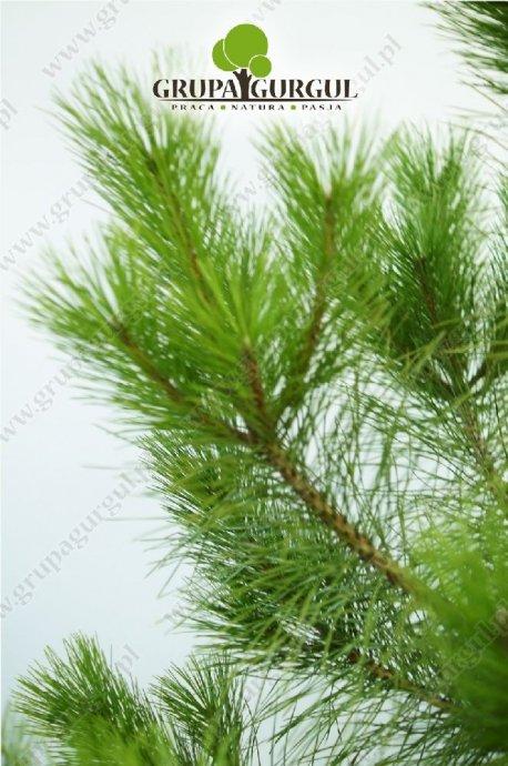 drzewo-34