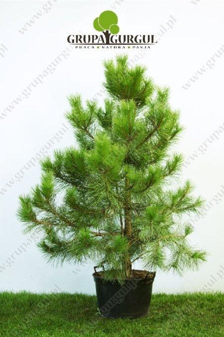 drzewo-06