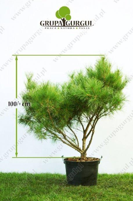drzewo-20