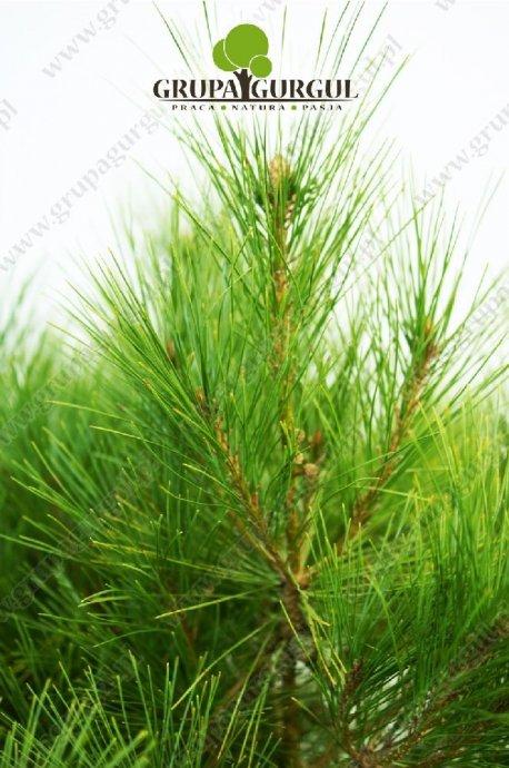 drzewo-29