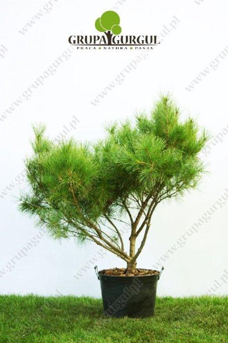drzewo-11