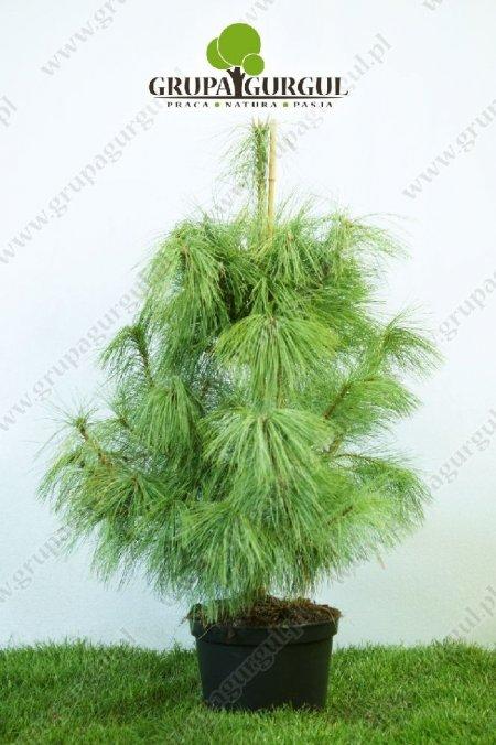 drzewo-14
