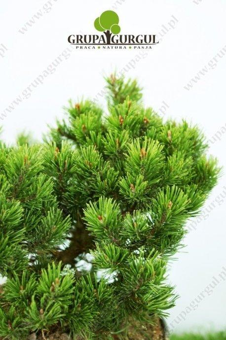 Sosna kosodrzewina 'Mops' – Pinus mugo 'Mops'