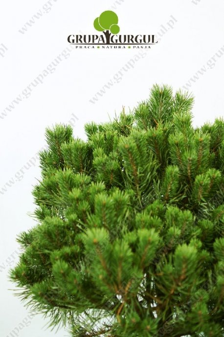 drzewo-16