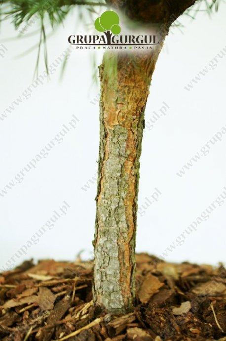 drzewo-31