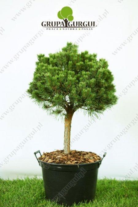 drzewo-08