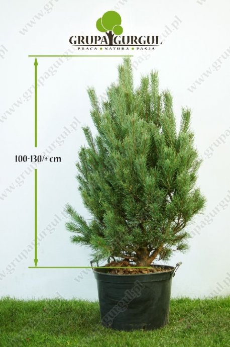 drzewo-17