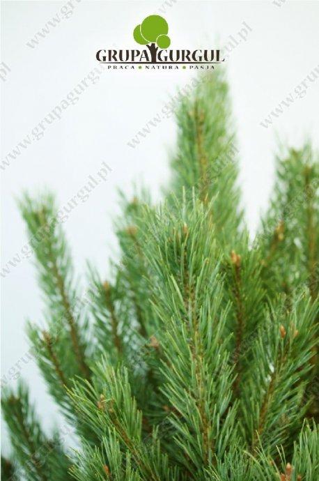 drzewo-35