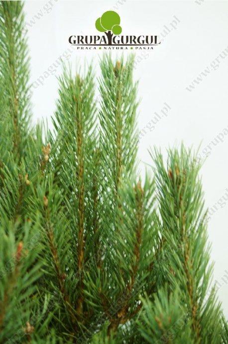 drzewo-05