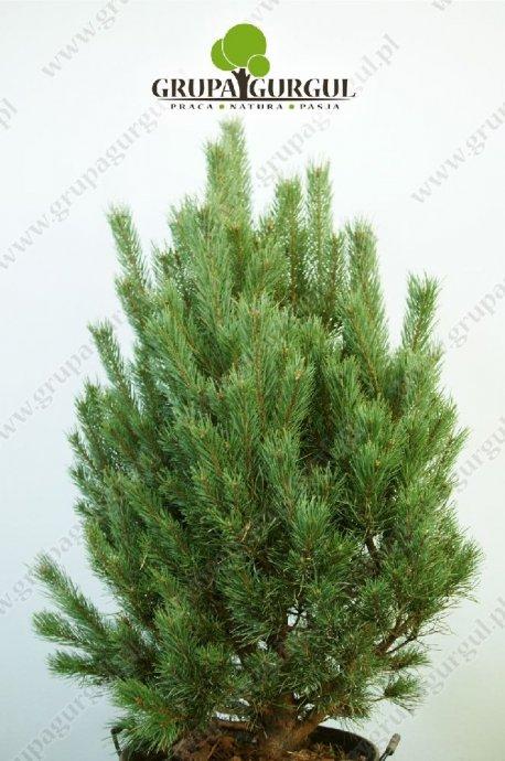 drzewo-26