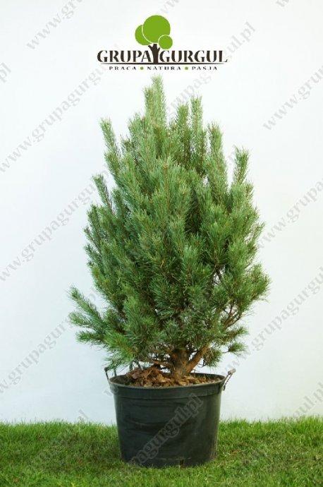 drzewo-07