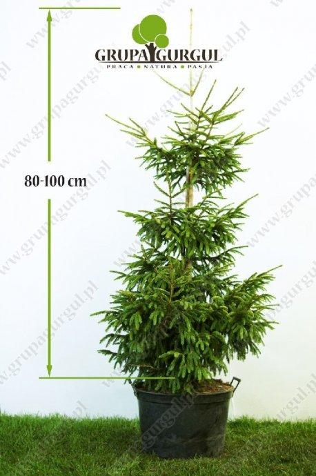 drzewo-19