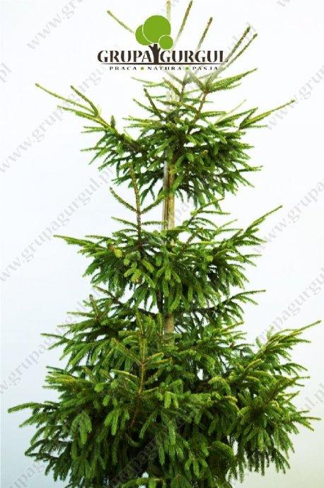 drzewo-28