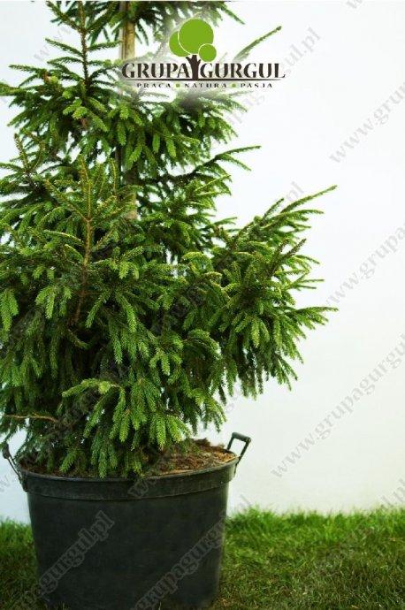 drzewo-37