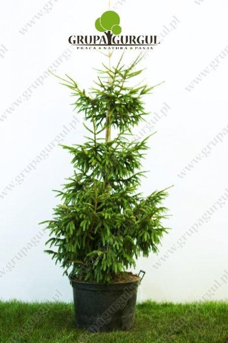 drzewo-10