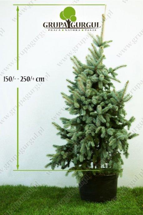 drzewo-22