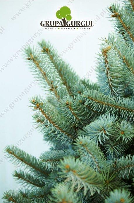 drzewo-30