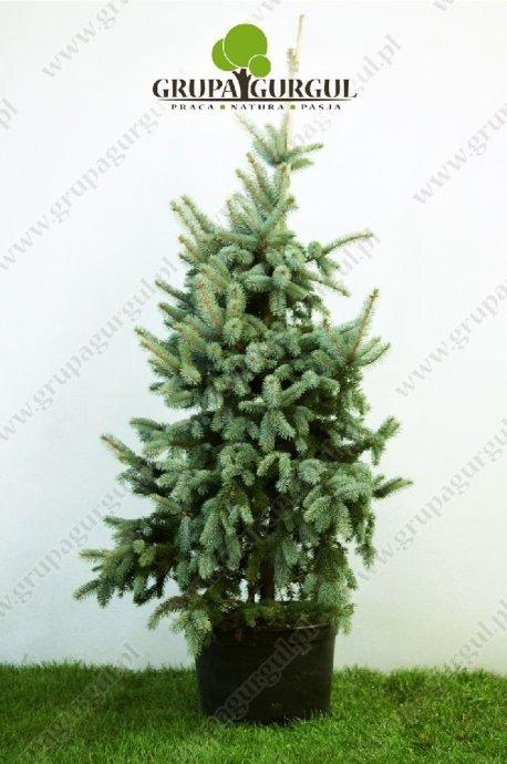 drzewo-13