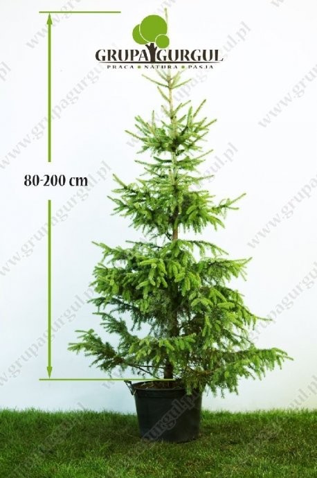 drzewo-18