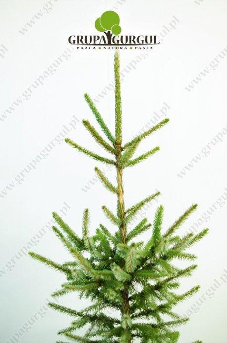 drzewo-27