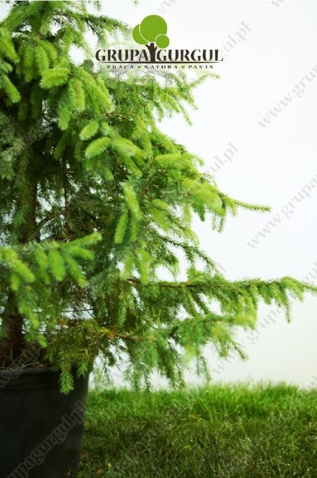 drzewo-41