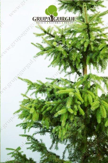drzewo-36