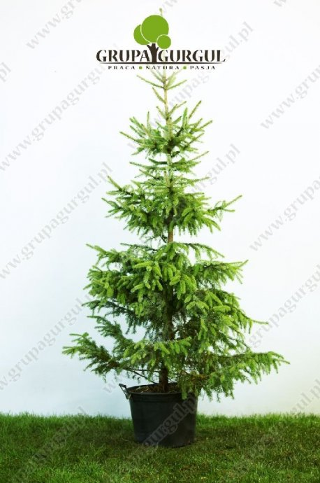 drzewo-09