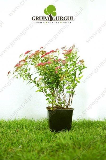 Tawuła japońska 'Anthony Waterer' – Spiraea japonica 'Anthony Waterer'