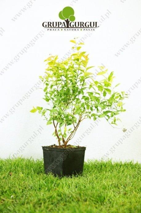 Tawuła japońska 'Goldflame' – Spiraea japonica 'Goldflame'
