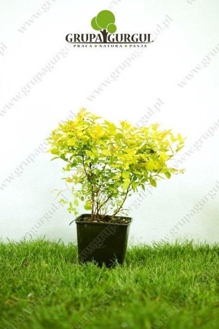 Tawuła japońska 'Goldmound' – Spiraea japonica 'Goldmound'