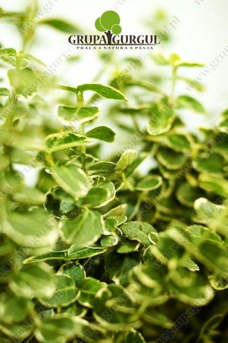 Trzmielina Fortune'a 'Emerald Gaiety' – Euonymus fortunei 'Emerald Gaiety'