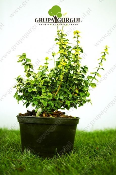 Trzmielina Fortune'a 'Gold Tip' – Euonymus fortunei 'Gold Tip'