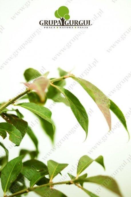 Trzmielina oskrzydlona, Compactus' – Euonymus alatus 'Compactus'