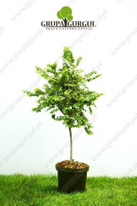 wiaz-drobnolistny-geisha-ulmus-parvifolia-geisha_f