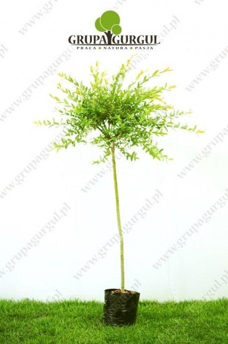 Wierzba całolistna, Hakuro-nishiki' – Salix integra 'Hakuro-nishiki'