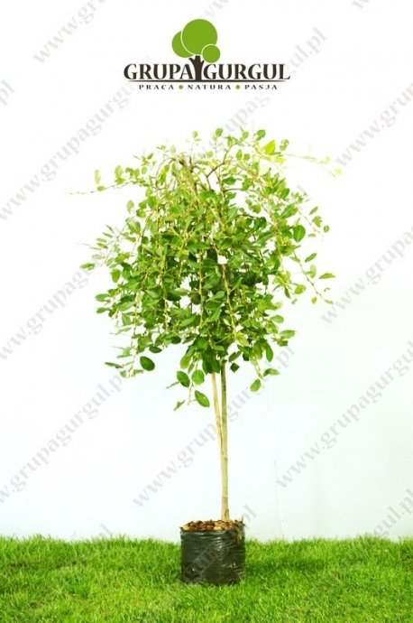 Wierzba 'Iwa' – Salix caprea