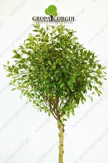 wisnia-osobliwa-globosa-prunus-fruticosa-globosa.1_f