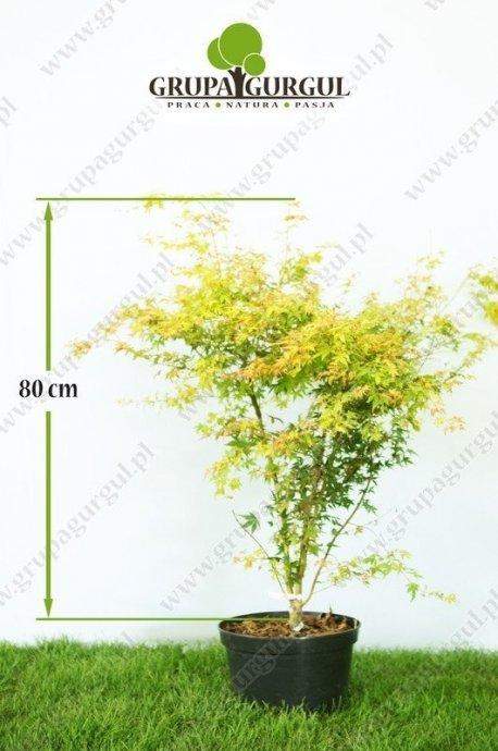 klon-palmowy-katsura-acer-palmatum-katsura.1_f