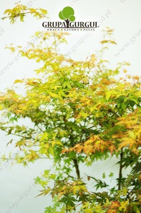 klon-palmowy-katsura-acer-palmatum-katsura.3_f