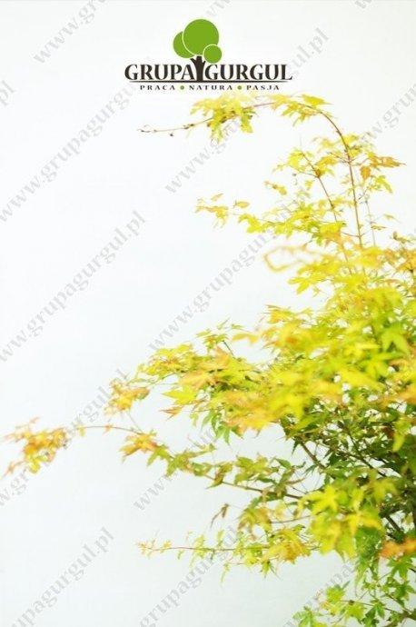 klon-palmowy-katsura-acer-palmatum-katsura.2_f