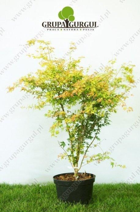 klon-palmowy-katsura-acer-palmatum-katsura_f