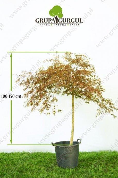 klon-palmowy-garnet-acer-palmatum-garnet.1_f