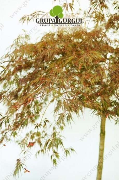 klon-palmowy-garnet-acer-palmatum-garnet.2_f