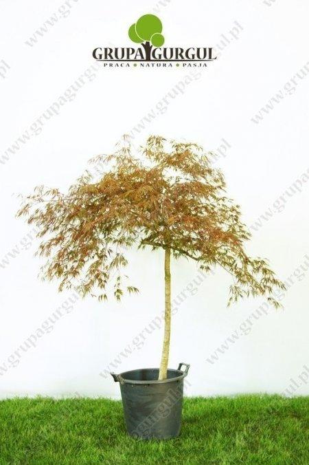 klon-palmowy-garnet-acer-palmatum-garnet_f