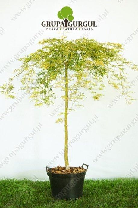 klon-palmowy-dissectum-acer-palmatum-dissectum.1_f