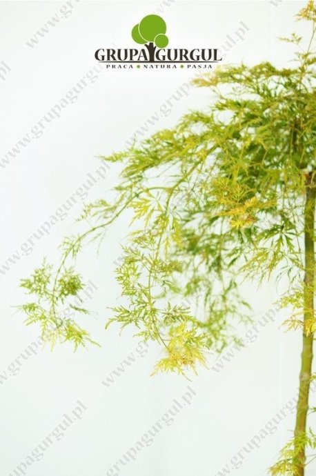 klon-palmowy-dissectum-acer-palmatum-dissectum.2_f